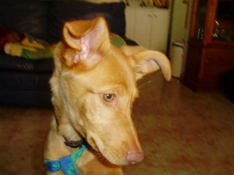 a podenca puppy called tina needs a loving home
