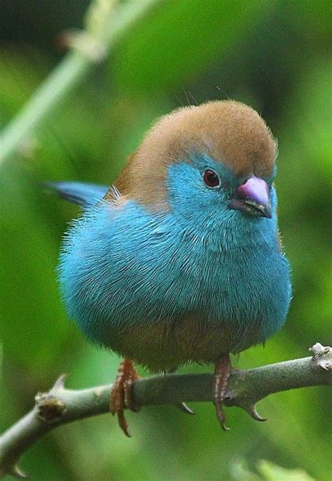 blue waxbill also called blue breasted cordon bleu is a
