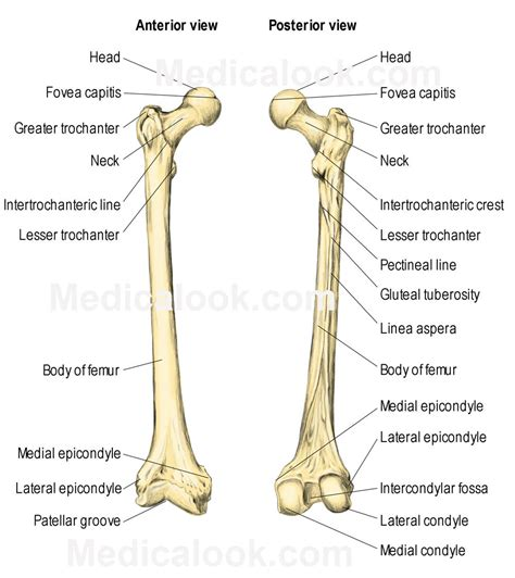 labeled bone diagram labeled diagram of the femur anatomy human