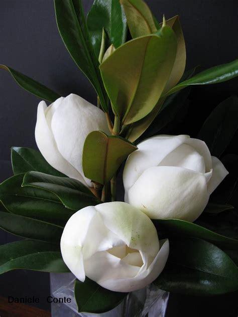 immagini magnolia fiore fiori di magnolia candida delicatezza stupenda forum