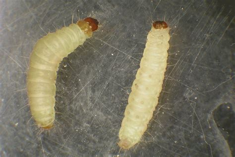 Pantry Moth Larvae by Indianmeal Moth Is Most Common Stored Food Pest In