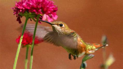 pink wallpaper with birds hummingbird wallpaper background 70 images