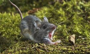 mice sing like a jet engine to find a mate ultrasonic