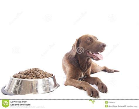 retriever food labrador retriever and food stock images image 25603204