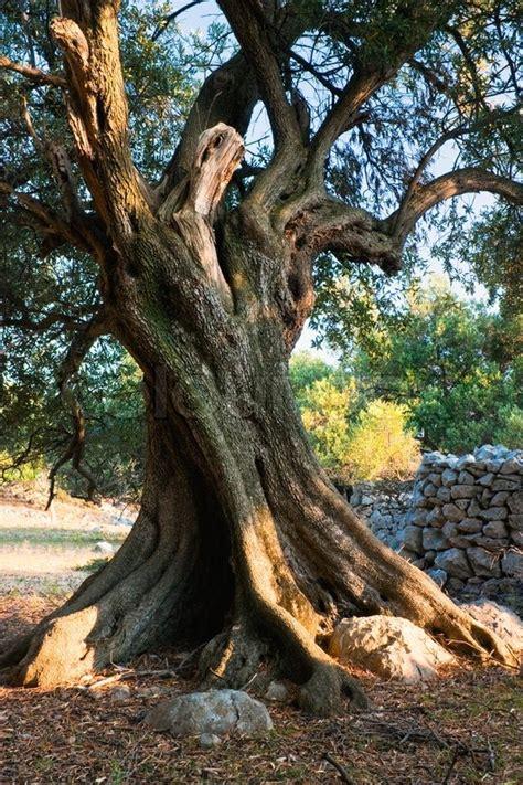 olive tree picture   pag island croatia