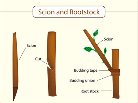 scion and rootstock grafting characteristics of a plant
