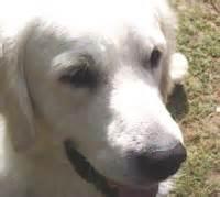 summeramba golden retrievers golden retriever our dogs magazine pedigree breeder directory showdogs