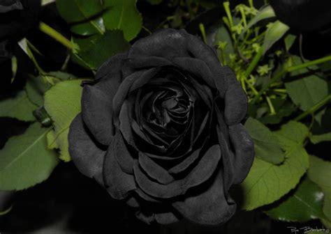 imagenes de rosas negras y rojas rosas negras 191 existen de forma natural