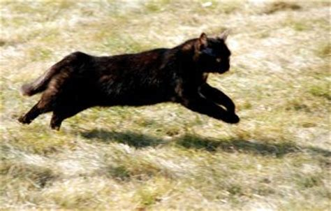how fast can a run how fast can a domestic cat run