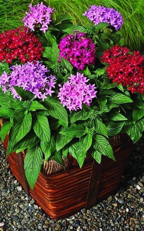 choose  filler botanic  pentas lanceolata