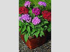 Choose a Filler Botanic name: Pentas lanceolata 'New Look ... Enchanted Oasis