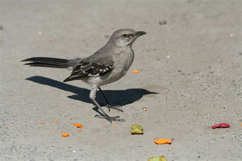 mocking bird eating goldfish photograph by darlene stout
