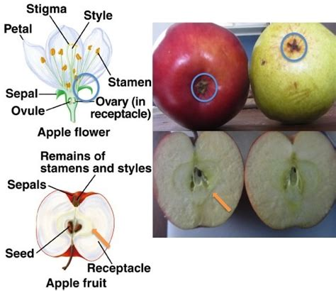 apple diagram pomegranates and the of herbivore attraction the