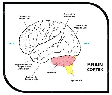 diagram parts of the brain diagram labeled