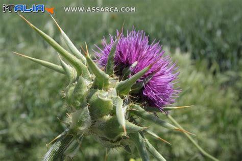 santa fiore pianta fiore di spina santa natura piante ed animali