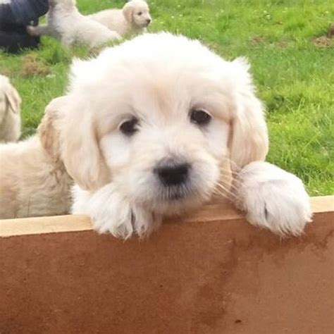 Goldendoodle Puppies Ashford Kent Pets4homes