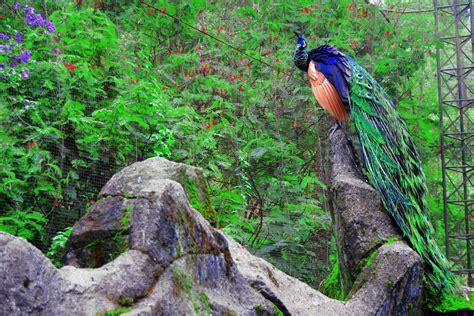merak biru agen sabung ayam hewan tercantik didunia merak