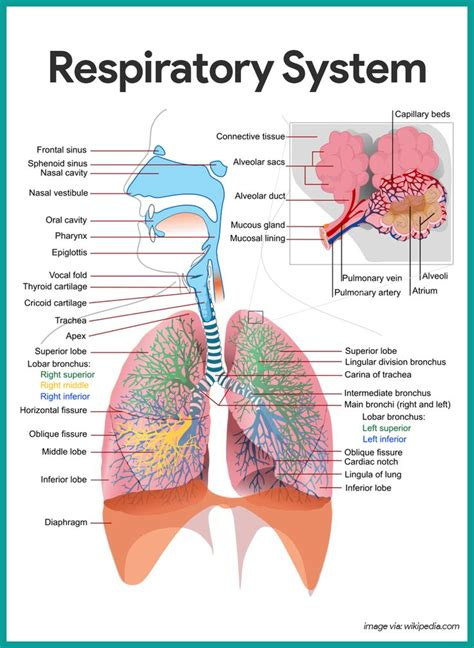 images of the respiratory system best 20 respiratory system ideas on school