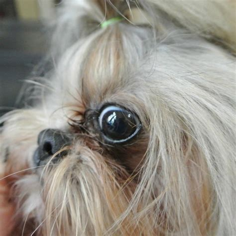 how to clip a maltese shih tzu tear stains in shih tzu dogs