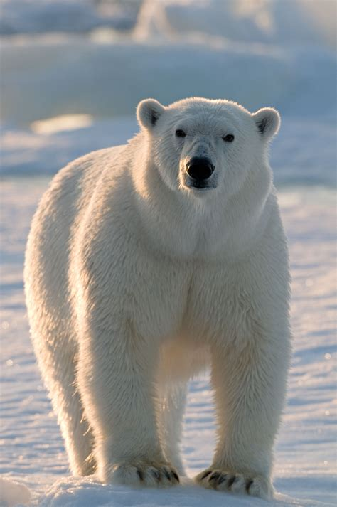 the polar bear polar bear spitsbergen norway jamonkey