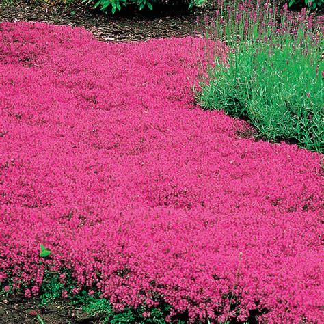 Bibit Benih Seeds Creeping Thyme For Ground Cover creeping thyme from park seed