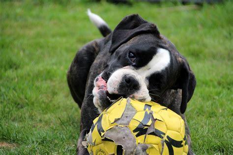 imagenes a blanco y negro de perros foto gratis perro boxer blanco y negro imagen gratis