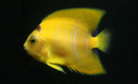yellow coloration of the skin the vitiligo angelfish and centropyge colouration
