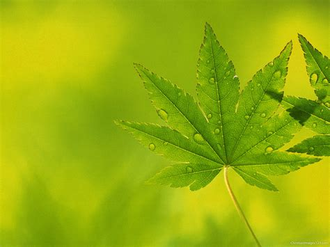 powerpoint themes leaves maple leaves powerpoint background free christian images