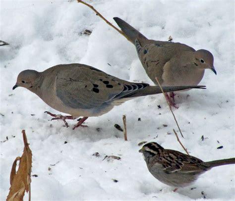 bird feeders mourning doves bird feeders