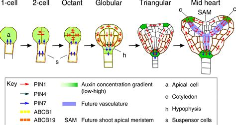 embryogenesis pattern formation from a single cell auxin transport routes in plant development development