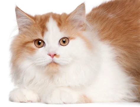 Orange And White Longhair Cat Breed   Cute Cats