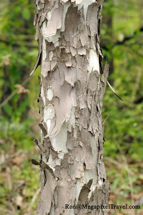Sycamore Tree Shedding Bark by Wellsboro Pa To Pine State Park Megapixel Travel
