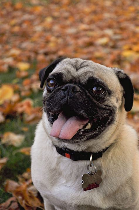 pug in leaves pug in the autumn leaves pugs