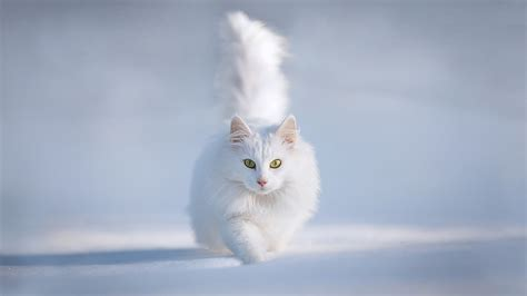 White Cat white cat in snow wallpaper high quality