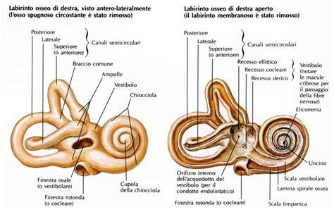 labirinto orecchio interno coclea la chiocciola dell orecchio apparecchi acustici
