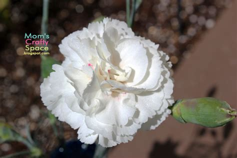 simple science color changing carnations happiness is