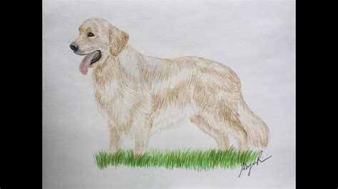 drawing of a golden retriever how to draw a golden retriever brown hairs