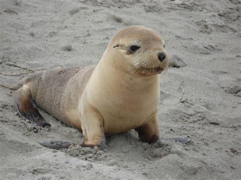 imagenes de focas blancas peque 241 a beb 233 foca im 225 genes y fotos