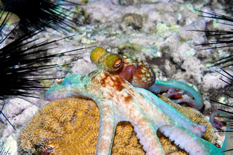 color changing octopus a between squid vs octopus what s the difference