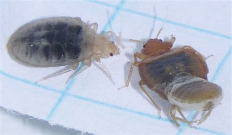 Bed Bug Shedding Pictures by Better Bed Bug Information Canadian News Bed Bug