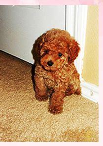 maltipoo puppies for sale in ct best 25 maltipoo puppies for sale ideas on maltipoo for sale teacup