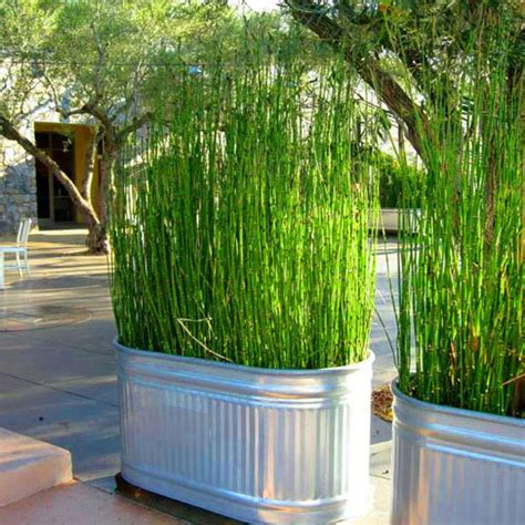 bambu air equisetum hyemale horsetail