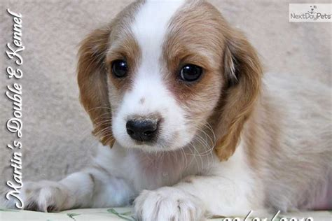 cavanese puppies meet lyle a cavanese puppy for sale for 400 lyle cavalier cavacoton
