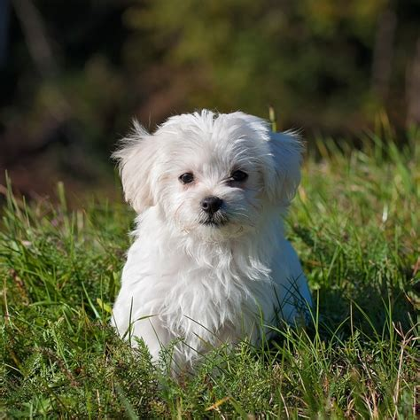 maltese poodle lifespan the best food for maltese buying guide us bones