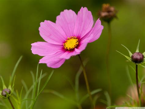flower images cosmos flower pink wallpaper 1600x1200 29824