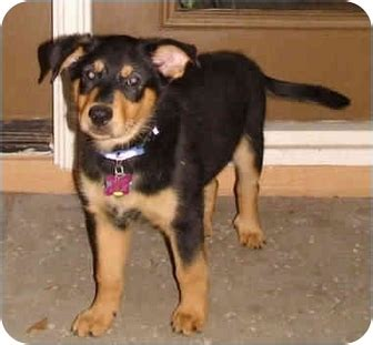 rottweiler australian cattle mix brewster adopted puppy az australian cattle rottweiler mix