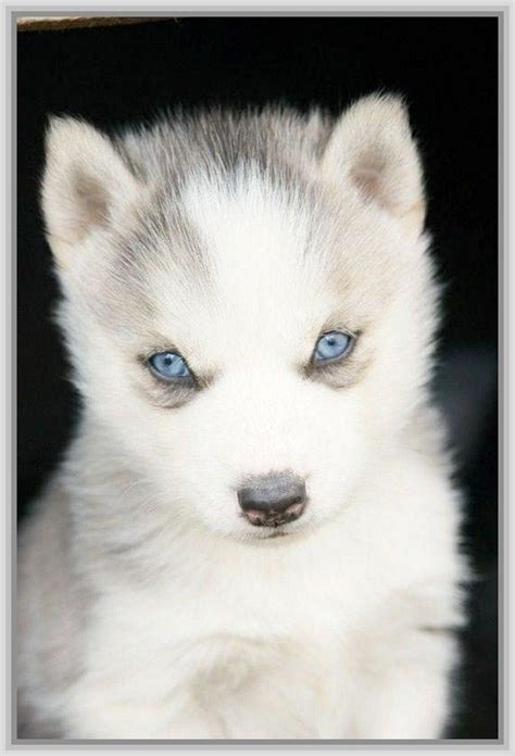 husky wallpaper blue eyes baby husky wallpapers images