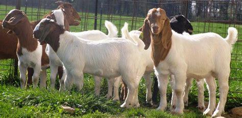 Jual Bibit Kambing Benggala peluang emas dari usaha budidaya ternak kambing boer