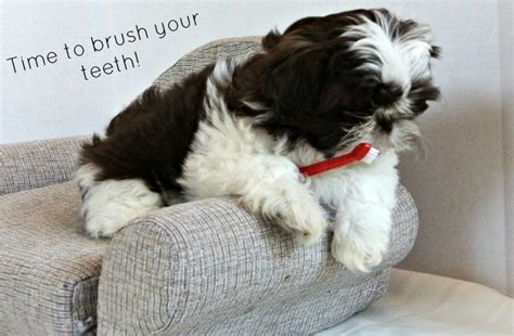 shih tzu puppies care puppy dental care guide
