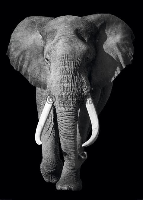wallpaper elephant black white xenos poster kings of nature elephant online te koop